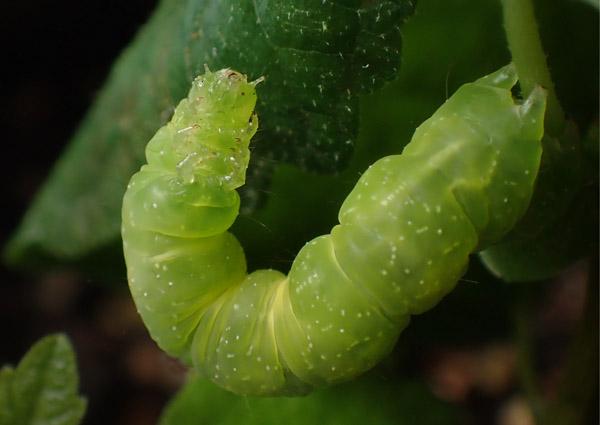 油断大敵 ヨトウガの幼虫発生