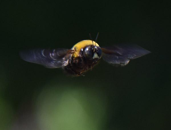 クマンバチの飛行