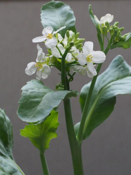 カイラン(介藍)の花