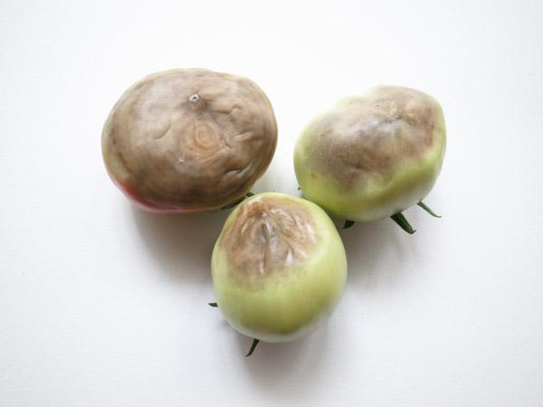 トマト尻腐れ症の防ぎ方