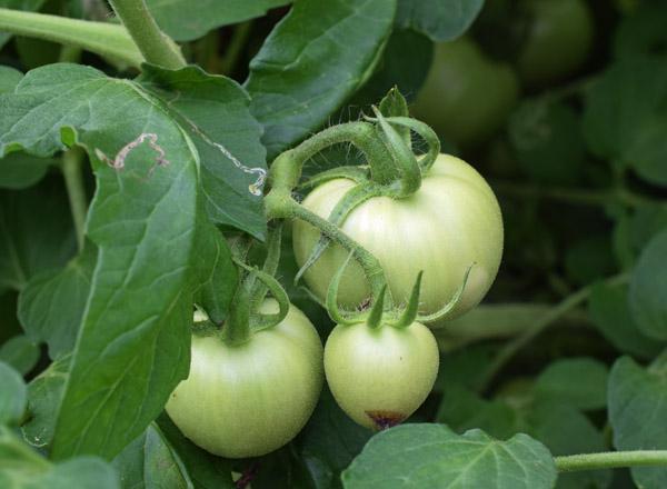加工用トマト品種「しゅほう」栽培