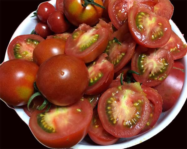 トマトの収穫が始まった