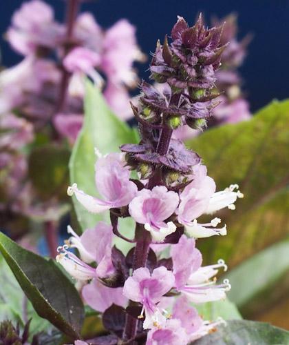 紫葉のバジル Violetto Aromatico