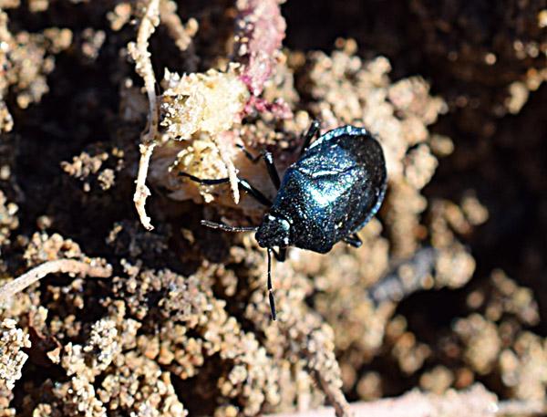 瑠璃色の昆虫発見