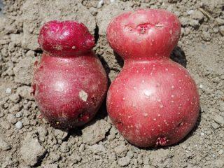 ほったらかし栽培のジャガイモ収穫