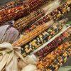 巨大トウモロコシとジェムコーン収獲