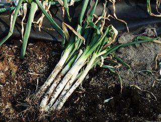 遮光シートを使った軟白ネギ(長ネギ)収穫