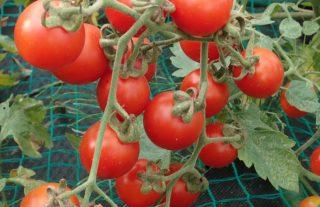 ジャングルトマト 収穫