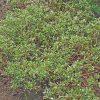 畑の雑草 スベリヒユの効能